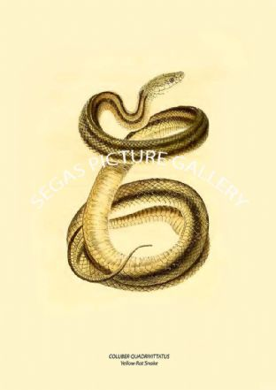 COLUBER QUADRIVITTATUS - Yellow Rat Snake